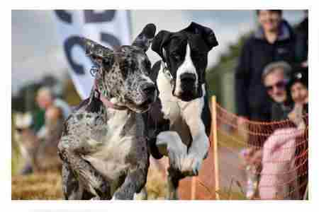 The Weald Park Festivals of Dogs in Brentwood on 5 May